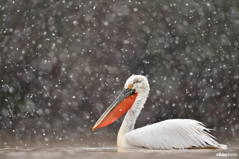 Kroeskoppelikaan in de sneeuw