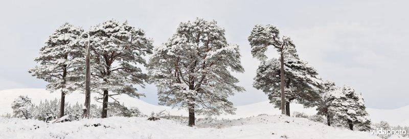 Berijpte dennenbomen in Schotland